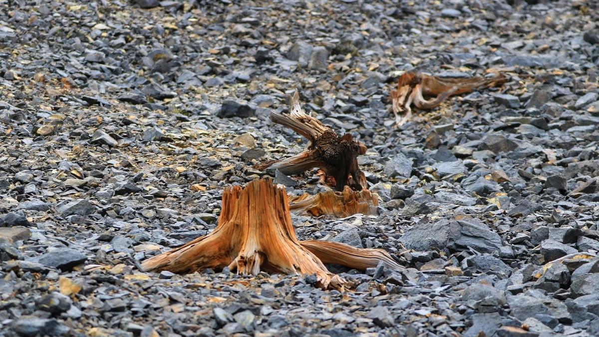 Высохшие корни деревьев на склонах гор Карабаша