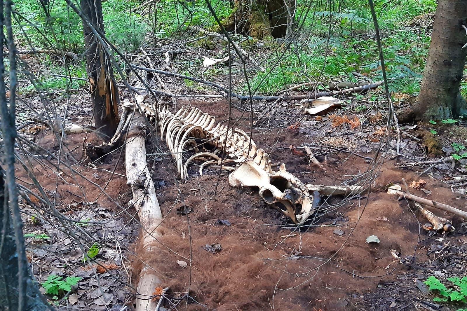 Скелет животного в лесу на Таганае